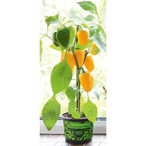 Pepper Windowsill Plant - Pillar Yellow