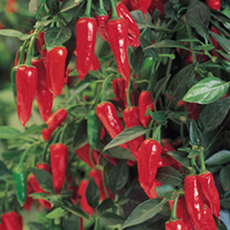 Pepper Chilli Plants - F1 Apache