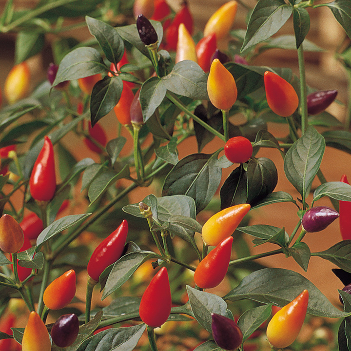 Pepper Chilli Seeds - Numex Twilight