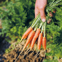 Carrot Seeds - Ideal