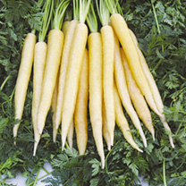 Carrot Seeds - Twin Pack Purple Sun/Creme de Lite