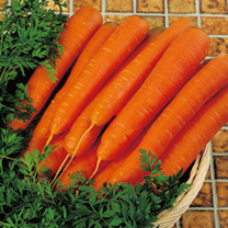 Carrot Fly attack a real problem for some gardeners. Fine quality roots and ideal for organic growing. 110 days from sowing to harvest (taken from our