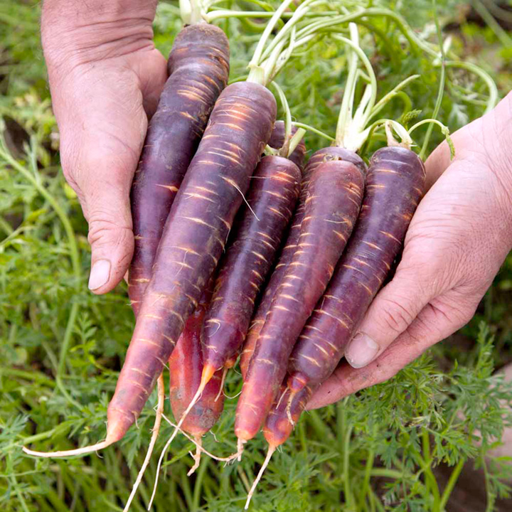 Carrot Seeds - F1 Purple Haze