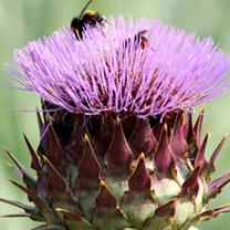 Cynara cardunculus Plant