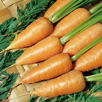 An old traditional variety producing flavoursome carrots over a long period. Ideal for boiling, steaming or stir-frying. 80 days from sowing to harves