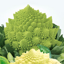 Cauliflower Plants - Romanesco Collection
