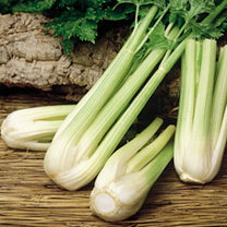 Celery Plants - Golden Spartan