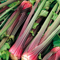 Delicious in soups and salads, this superb hardy celery is weather-resistant and boasts an excellent flavour. Trench variety. Heritage Seed Variety, 1
