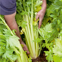 A first rate, vigorous, upright-growing, self-blanching celery, producing deliciously flavoured, smooth, succulent, mouth-watering white sticks! RHS A