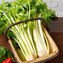Celery Seeds - Golden Self-Blanching 3