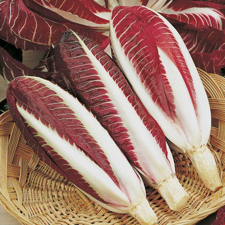 Chicory Seeds - Rossa di Treviso precoce