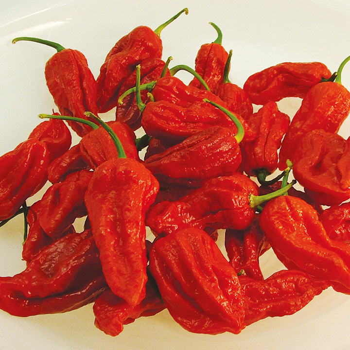 Pepper Chilli Plants - Bhut Jolokia