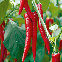 Pepper Chilli Grafted Plants - F1 Medina
