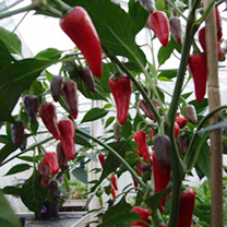 Pepper Chilli Plant - F1 Gusto Purple