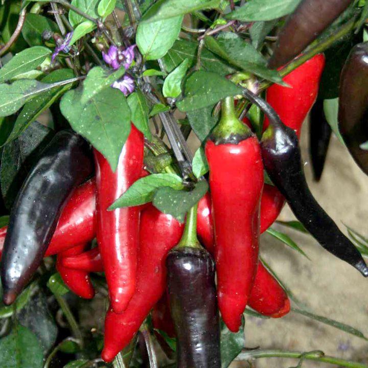 Pepper Chilli Seeds - F1 Vampire