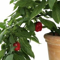 Tree Chilli Plants