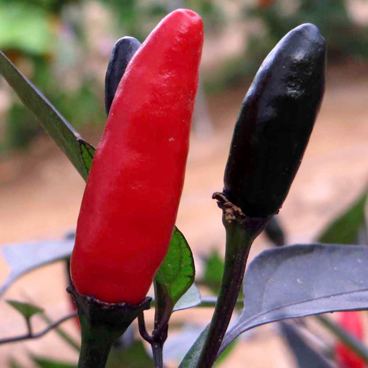 Pepper Chilli Plant - Zimbabwe Black