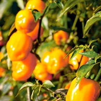 Pepper Chilli Seeds - Habanero Big Sun