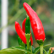 The main ingredient in the world famous Tabasco sauce. The upright pods are about 4cm (1) long. They colour from yellow-green or yellow to red when fu