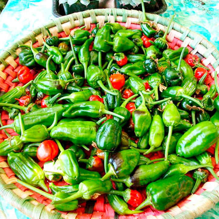 Pepper Chilli Plant - Padron