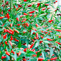 Pepper Chilli Seeds - Hot Thai