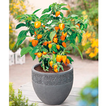 Pepper Chilli Plants - Twin Pack