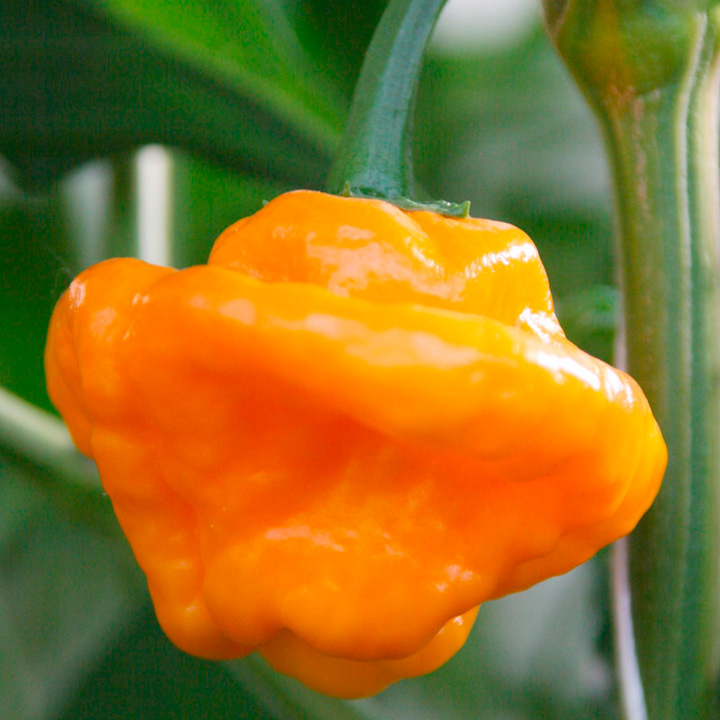Pepper Chilli Plant - Scotch Bonnet Yellow