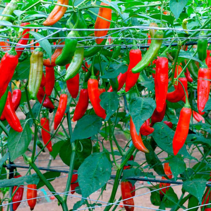Pepper Chilli Plant - Aji Delight