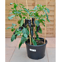 Pepper Grafted Plants - F1 Black Knight