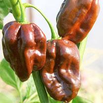 Pepper Plant - Chocolate Habanero