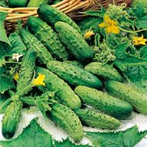 Cornichon Plants - vert petit de Paris
