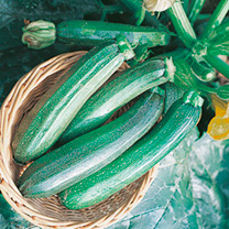Extremely early with deep green, cylindrical fruits 15cm (6) or more in length. Recommended for deep freezing. Harvest June-October. Tom says: A very