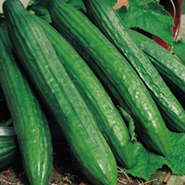 A much improved strain of this popular cucumber. Heritage Seed Variety.