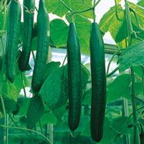 Cucumber Plants - F1 Bella