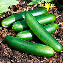 Cucumber Grafted Plants - F1 Grandal
