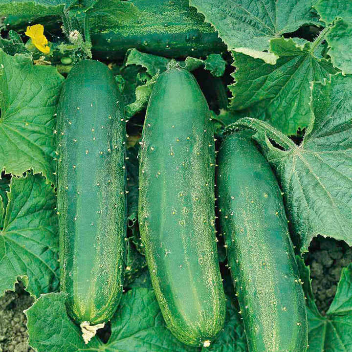 Cucumber Seeds - F1 Bush Champion