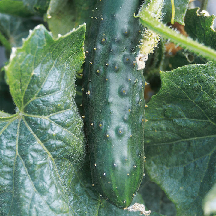 Cucumber Seeds - Marketmore
