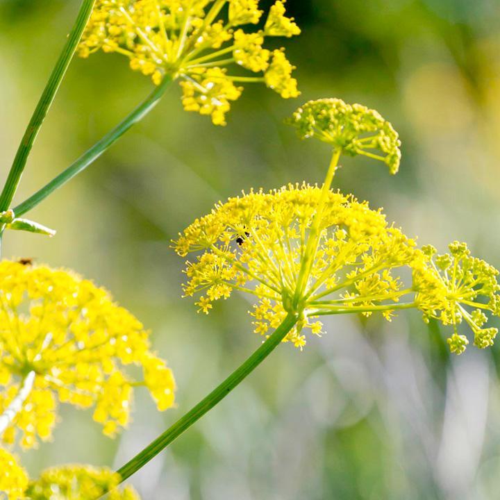 Wild Fennel Pollen Seeds Herb Seeds Vegetable Seeds
