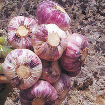 Garlic Bulbs - Germidour