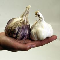 garlic bulbs twinpack 440005