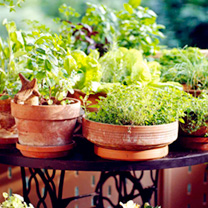 Collection contains the following varieties: Dill For fish and salad dishes (sow March-May); Sage For duck, veal or pork dishes (sow mid February-May)