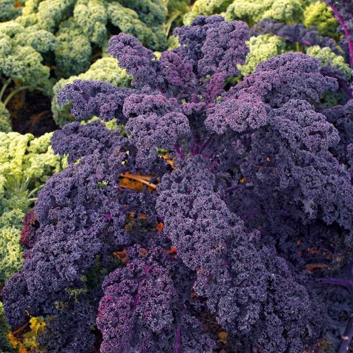 Kale Plants - F1 Redbor