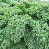 Kale Seeds - Green & Red