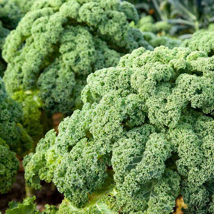 Kale Plants - Reflex