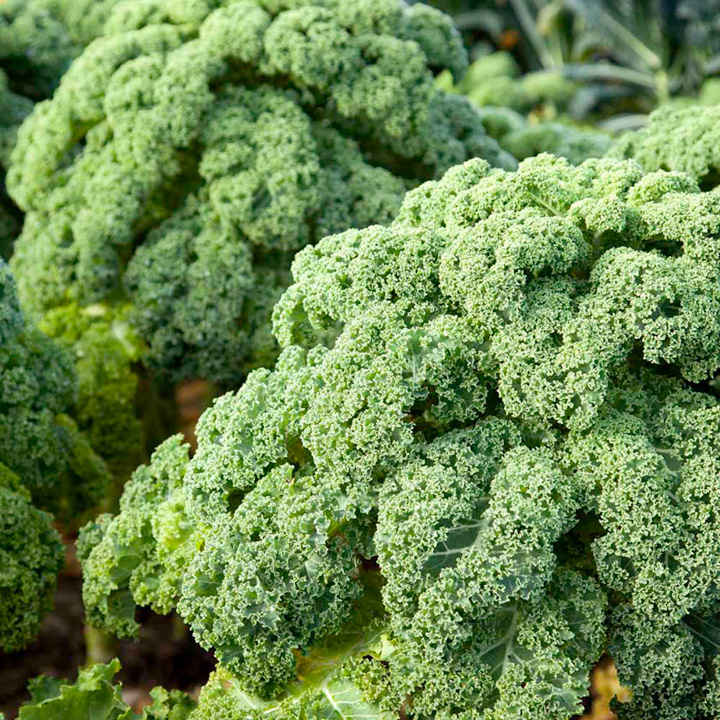 Kale Seeds - F1 Reflex