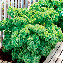 Dark green, densely curled leaves. The plants are dwarf growing and compact in habit. Very winter hardy. Tom says: Kale has had a huge resurgence in r