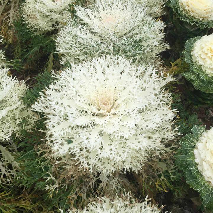 Kale (Borecole) Seed - F1 Peacock White