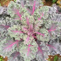 Kale Plants - Midnight Sun