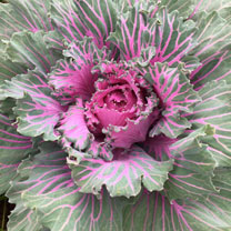 Kale Plants - Buttonhole