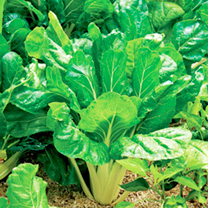 Swiss Chard Plants - Perpetual Spinach